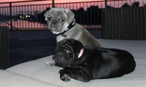 how much do pugs cost uk black and bulldog puppies for sale uk dogs in our photo