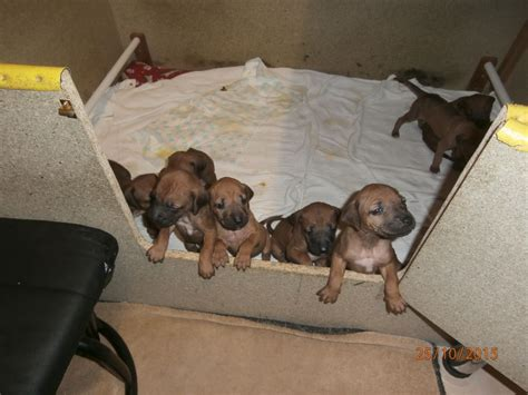 puppies for less 2 ridge less ridgeback puppies for sale chesterfield derbyshire pets4homes