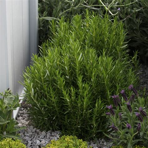 buy rosemary seeds rosmarinus officinalis rosemary