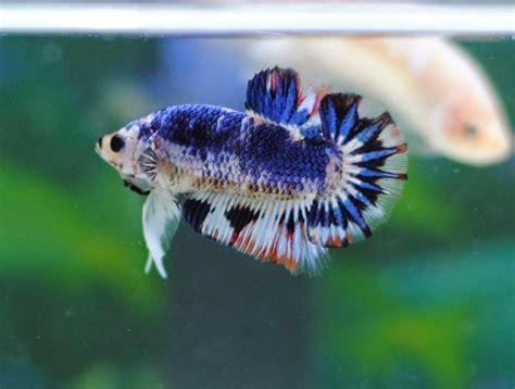 Harga Kutu Air Untuk Pakan Ikan mozz clan jual ikan cupang betta kutu air