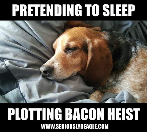 Beagle Meme - beagle meme of the day seriously beagle