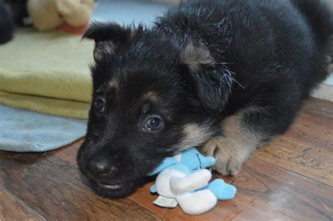 8 week german shepherd puppy 8 week black german shepherd puppies newport newport pets4homes