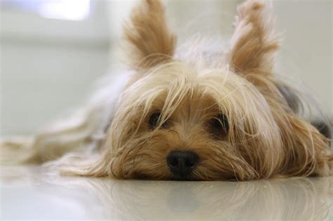 how does a yorkie pregnancy last how are yorkies litter size and early signs guide