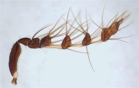 Astichus Silvani Waspweb