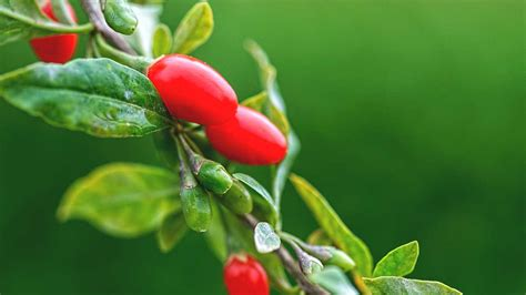 Goji Berry 8 healthy facts about the goji berry