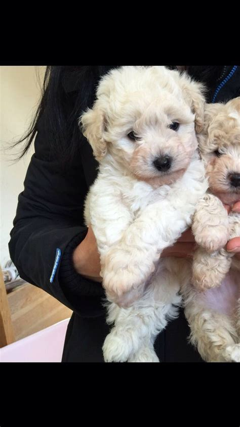 poochon puppies for sale poochon puppy for sale oldham greater manchester pets4homes