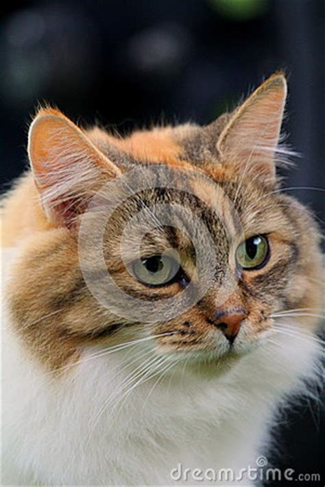white pussy cat ginger and white cat stock photo image 39712072