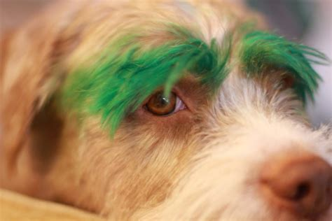 how to tell if a puppy will hair 5 diy hair dye methods using food color to before you dye your s