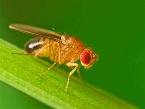 fruit flies fruit fly sewer gnat bpc pittsburgh