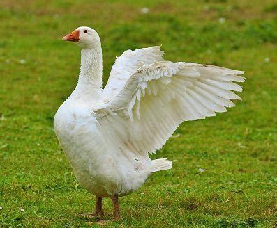 Duck Vs Goose Duvet by Various Goose Vs Duck C91994 Duck Duck Goose