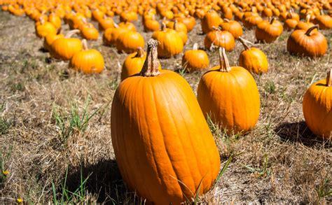 the pumpkin 7 tips for finding the pumpkin modern farmer