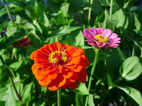 fiori zinnie zinnia zinnia piante annuali zinnia annuali