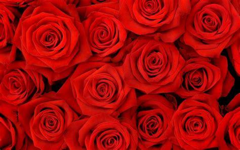 wallpaper for desktop roses roses hd wallpapers top best hd wallpapers for desktop