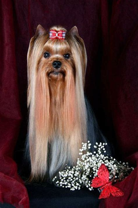 pictures of yorkies with hair 17 best images about yorkie haircuts on best style yorkie and yorkie