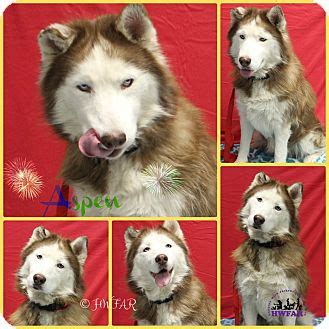 husky puppies for adoption in pa husky mix for adoption in pittsburgh pennsylvania aspen