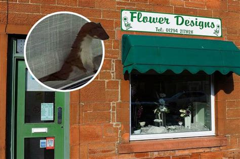 flower design dreghorn wild stoat finds way into dreghorn florists to set up home