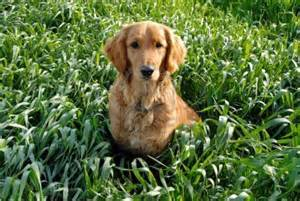 golden retriever diet domestication history page 2