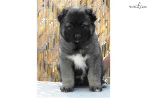 caucasian mountain for sale caucasian mountain puppy for sale near las vegas nevada 6d9781a0 ce91