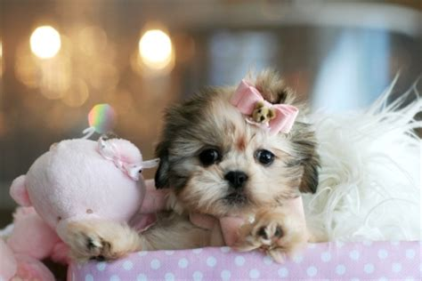 teacup puppies for sale in dallas tx teacup puppy for sale in