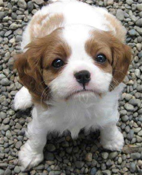 puppy purchase covington cavaliers breeders greg heidi mohn northwest washington state