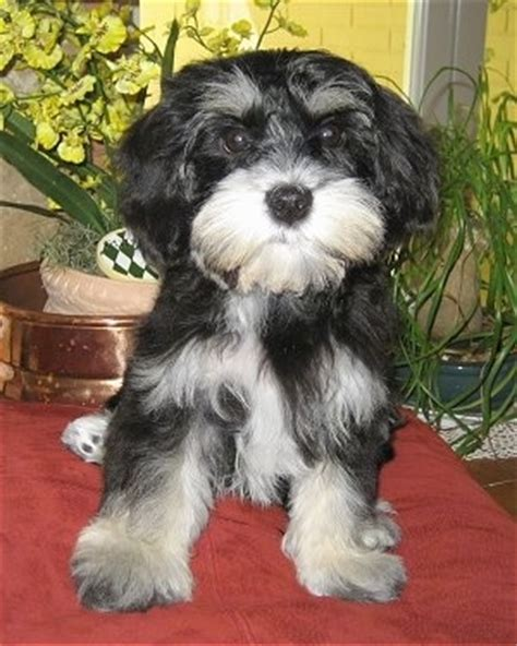 best food for miniature schnauzer puppy mauzer breed information and picturess