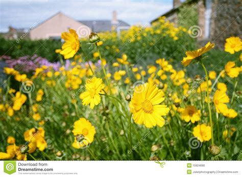 Yellow Flower Garden Yellow Garden Flowers Stock Photo Image 15924690
