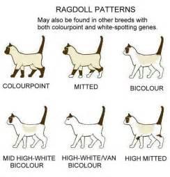 cat color patterns ragdoll colors patterns
