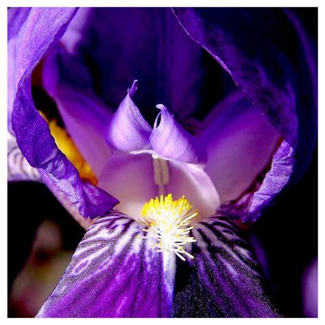 il fiore iris il fiore iris