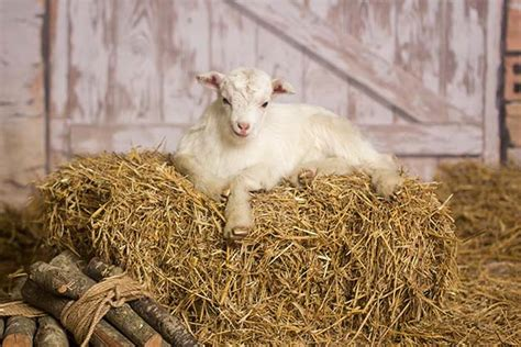 goat bedding 187 16 tips for raising goats