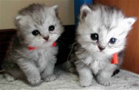 twin cats funny cat picture funny twin cats