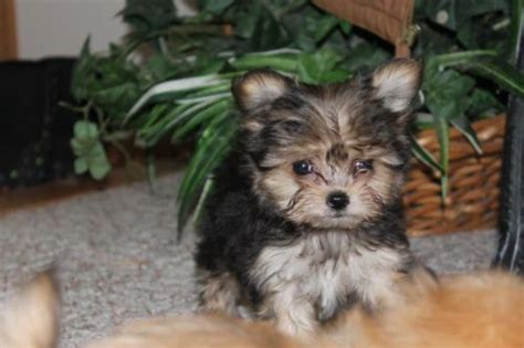 shih tzu yorkie mix puppies for sale a tiny yorkie poodle maltese shih tzu mix maltese poodle yorkie
