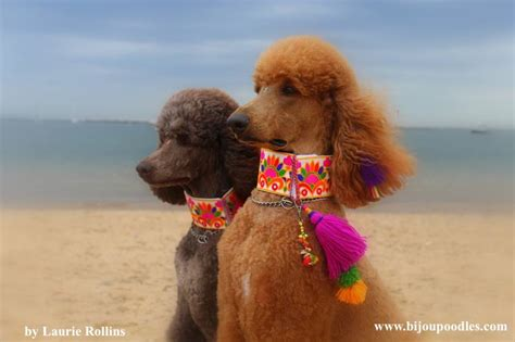 standard poodle puppies for sale in standard poodle puppies for sale cheap photo