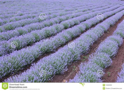 rows of lavender plant stock image image of fragrance