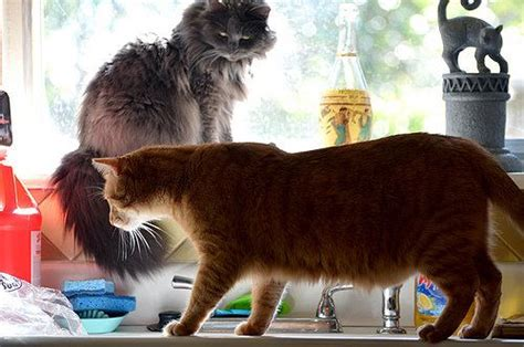 how to stop your cat jumping on counters and tables is your cat jumping on a kitchen counter read here to