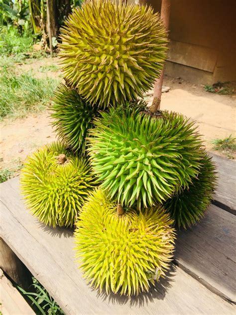 dian imbe durian daun durian hutan asli tumbuh  bumi