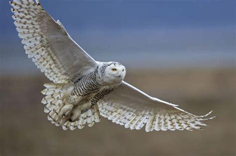 owl in backyard 2016 great backyard bird count starts february 12 earth earthsky