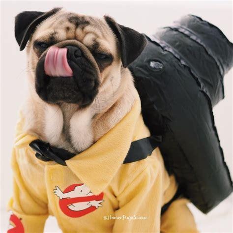 pug costume for humans this pug s costume options are beyond adorable
