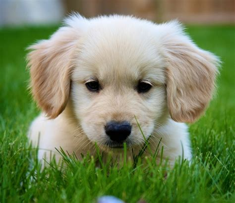 how much do golden retrievers shed 2017 baby golden retriever info info pictures images wallpapers