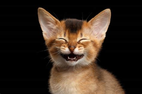 8 Ways To A Laugh At Your Cats Expense by Royalty Free Laughing Cat Pictures Images And Stock