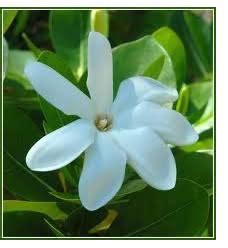 fiore tiare fiore di tiar 232 significato fare di una mosca
