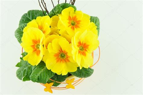 primule in vaso primule gialle in un vaso di fiori foto stock 169 hsfoto