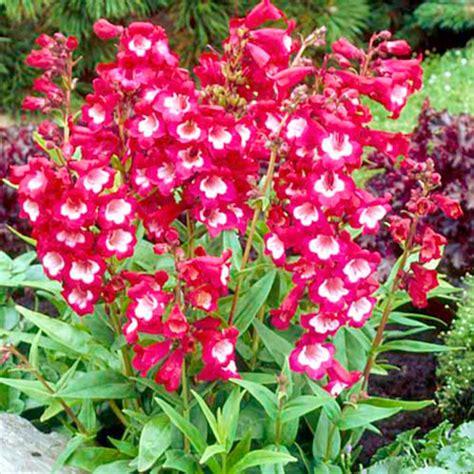 Benihbijibibit Bunga Penstemon Tubuar Bells hoa m 212 i đỏ
