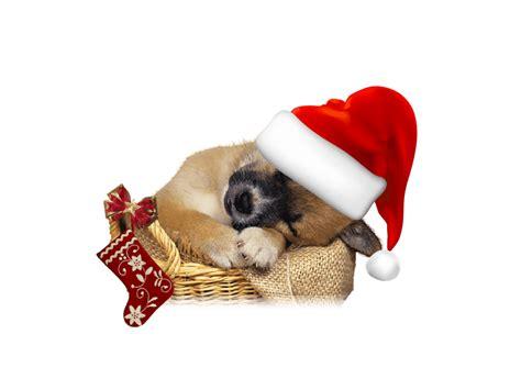 imagenes feliz navidad con perros zoom dise 209 o y fotografia gatos y perros con gorro papa noel