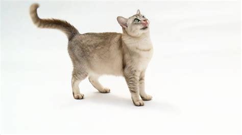 Burmilla Cat Pictures and Information   Cat Breeds.com