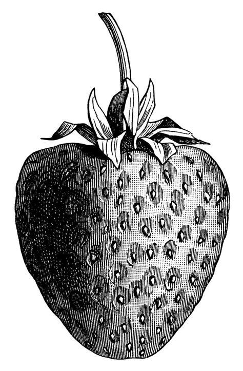 vintage strawberry clip art black  white graphics