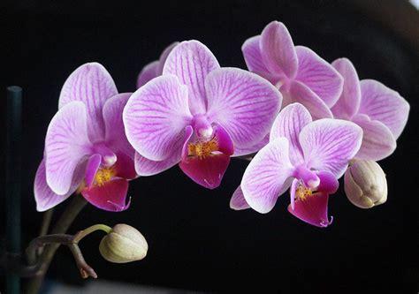 come far fiorire orchidea orchidea phalaenopsis coltivazione idee green