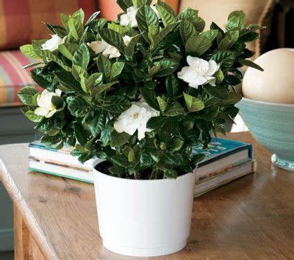 gardenia    white nursery pot white flower farm