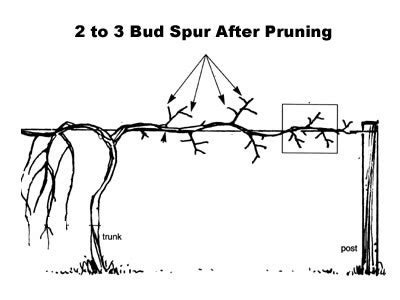 when to cut back a grapevine how to prune and a muscadine vine wilson bros gardens
