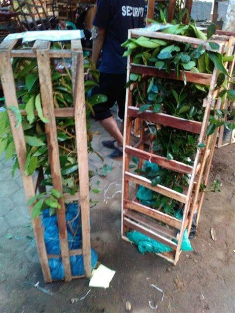 Harga Bibit Durian Bawor 2018 new wa 0812 8560 4125 jual bibit durian pendek
