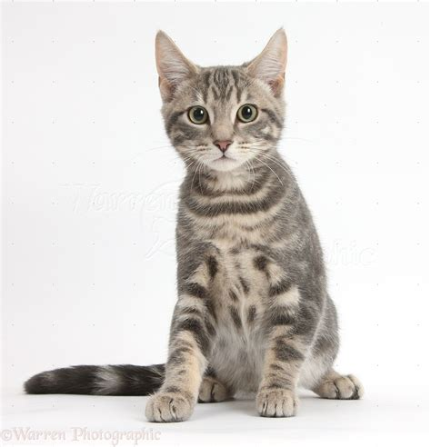 cat sitting clipart